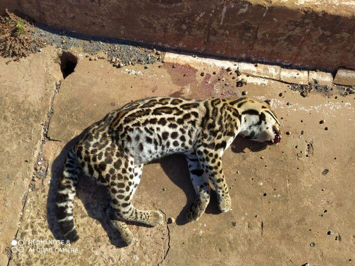 Os policiais foram rapidamente ao local, mas o felino já estava morto
