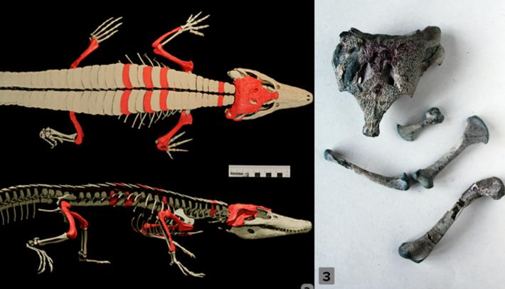 6. Reconstrução do esqueleto de Burkesuchus mallingrandensis - os ossos encontrados são indicados em vermelho.