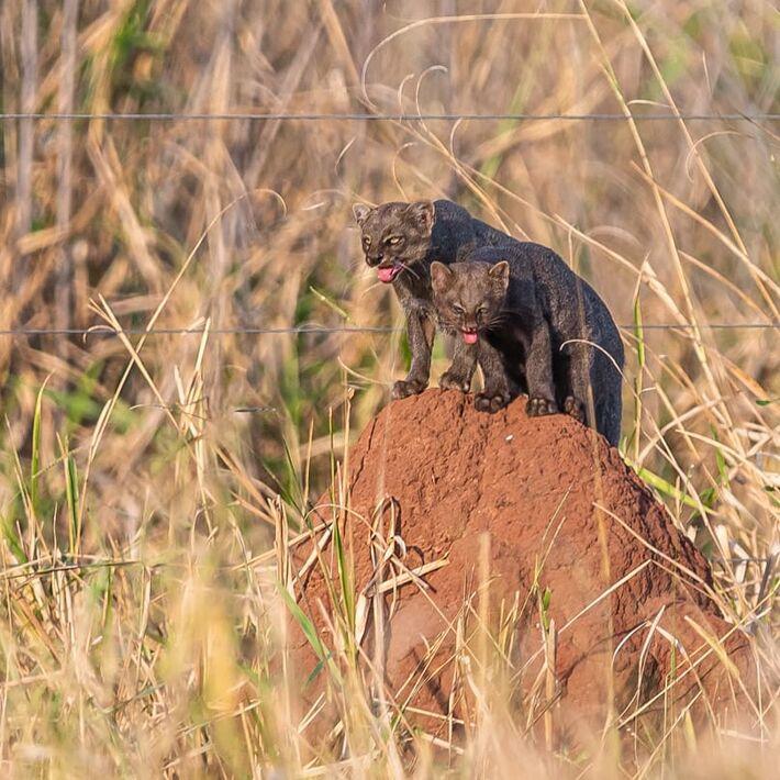 Bicho é vulnerável e há poucos da espécie em todo o país.