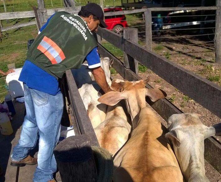 Imagem mostra vacinação contra o mal da vaca louca. Foto: ASCOM / ADEPARÁ