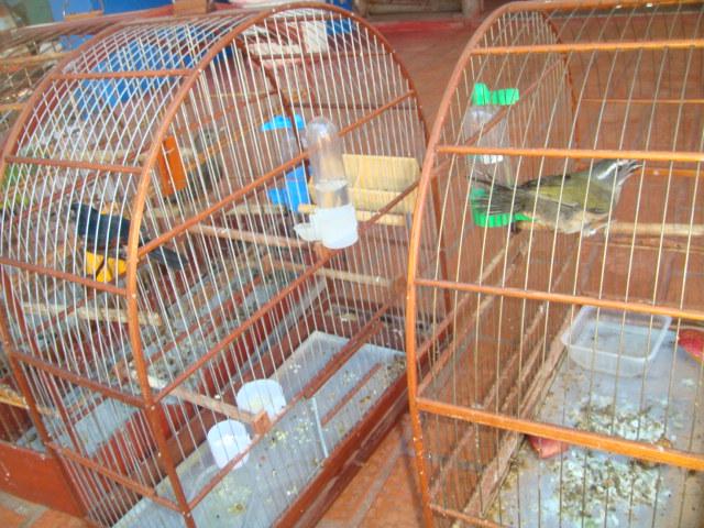 Pássaros mantidos em cativeiro<br />Foto: Divulgação