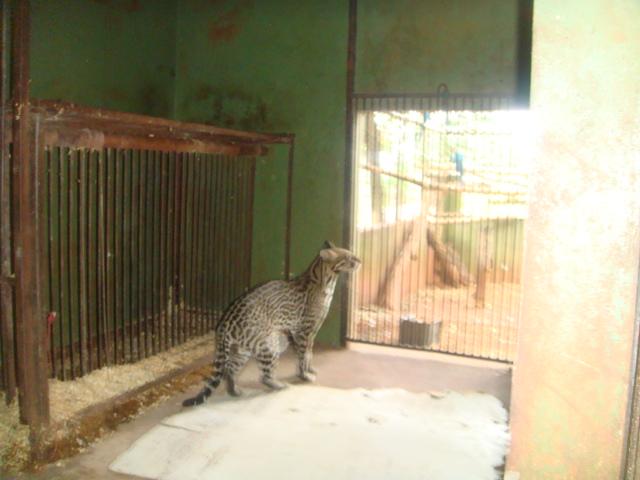 Os policiais levaram o felino ao Centro de Reabilitação de Animais Silvestres (CRAS), na Capital. A espécie está em extinção.