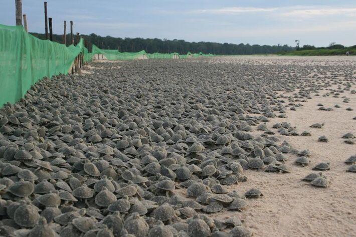 Soltura de tartarugas foi adiada para o dia 21. Projeto da Ecovale prevê a devolução de mais de dois milhões de filhotes à natureza.