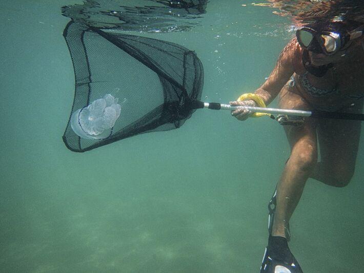 Captura de águas-vivas:? animal marinho será usado para alimentação e para combater tumores
