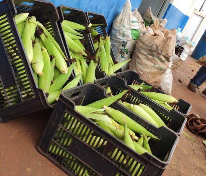 Produção de milho verde dos agricultores familiares foi doada para várias entidades assistenciais de Dourados