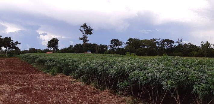 Mato Grosso do Sul é o 13º produtor nacional de mandioca, porém, está em segundo lugar no ranking de produtividade