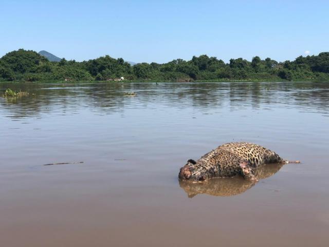 Onça foi encontrada morta no Pantanal e PMA vai verificar o caso.