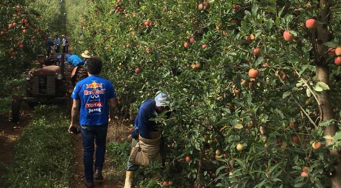 A colheita da maçã começa no início do ano