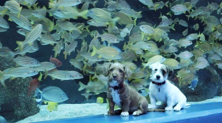 Os filhotes irmãos Carmel e Odie exploram o Georgia Aquarium, em Atlanta