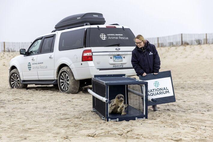 Cuidadora liberta a foca Amélia Bedélia na praia em Salisbury, Maryland, nos EUA, ao ser reinserida na natureza após 3 semanas de reabilitação