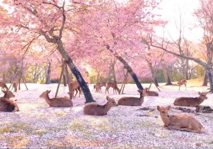 Animais descansam em meio as flores de cerejeira no Nara Parque.