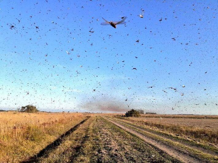 Os gafanhotos podem afetar a atividade agrícola, e, indiretamente, a pecuária, porque os insetos se alimentam de recursos usados nesta atividade. Eles também causam danos à vegetação nativa.