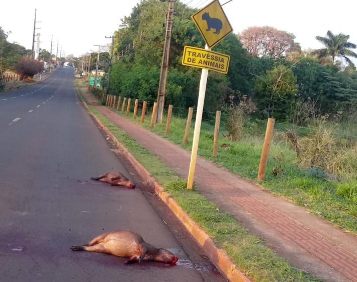 Imagens do animal morto nesta manhã na Rua Tamandaré na Capital de MS